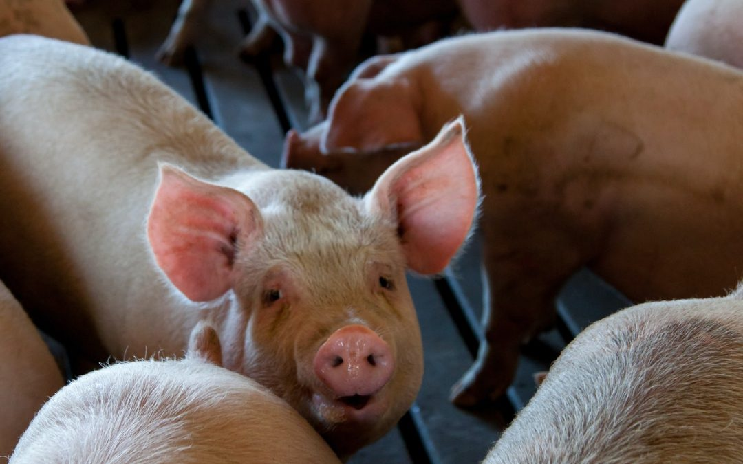 Verzorging van varkens
